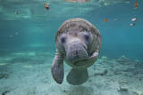"""Portrait of a West Indian Manatee or """"Sea Cow"""" in Crystal River, Three Sisters Spring, Florida Photographic Print by Karine Aigner"""