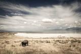 Bison on Antelope Island State Park, Utah Reproduction photographique par Patrick Brandenburg