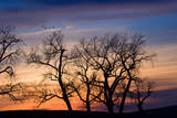 Cottonwood Trees are Silhouetted Against an Orange and Blue Sunset Near Lincoln, Nebraska Reproduction photographique par Sergio Ballivian