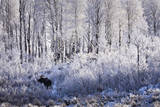 A Bull Moose Feeds on Willow Trees Covered in Hoarfrost in Grand Teton National Park, Wyoming Impressão fotográfica por Mike Cavaroc