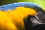 Ara bleu et jaune Reproduction photographique par Patrick Brandenburg