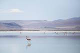 Flamingo in the Eduardo Avaroa Andean Fauna National Reserve in Southwest, Boliva Reproduction photographique par Patrick Brandenburg