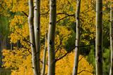Aspen Trees During Fall in the Rocky Mountains of Colorado Reproduction photographique par Sergio Ballivian