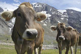 Italy, Stelvio, Cattle of the Bruna Alpina or 'Alpine Brown' Breed Photographic Print by Michele Molinari