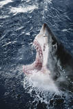 Head of Great White Shark Photographic Print by Amos Nachoum