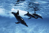Trio of Dolphins Photographic Print by Amos Nachoum