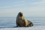 Greenland Sea, Norway, Spitsbergen. Walrus Rests on Summer Sea Ice Stampa fotografica di Steve Kazlowski