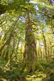 Washington, Olympic Grand Moss Draped Bigleaf Maple Stampa fotografica di Steve Kazlowski