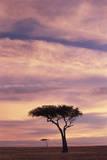 Kenya, Maasai Mara, Silhouette Image of Acacia Tree at Sunrise Fotografisk trykk av Adam Jones