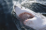 Great White Shark on Sea Photographic Print by Amos Nachoum