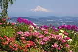 Rose Garden Adds Beauty to Mt.Hood from Pittock Mansion, Portland, Oregon, Pacific Northwest Fotografisk trykk av Craig Tuttle