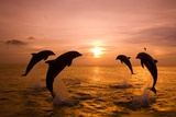 Bottlenosed Dolphins Jumping Fotografie-Druck von Craig Tuttle