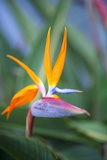Bird-Of-Paradise Flower on Maui Reproduction photographique Premium par Ron Dahlquist