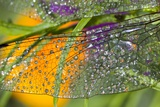 Morning Dew on a Dragonfly Wing Photographic Print by Craig Tuttle