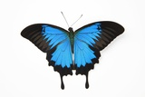 Mountain Blue Swallowtail Butterfly from Australia, Papilio Uysses Photographic Print by Darrell Gulin
