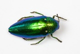 Jewel Beetle Sternocera Aequisignata in Bright Green Photographic Print by Darrell Gulin