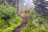 Deer on Trail in Mount Rainier National Park Fotografisk trykk av Craig Tuttle