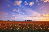 Beautiful Sunrise over Tulip Field Photographic Print by Craig Tuttle