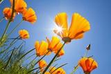 Poppies in the Sun, Oregon Fotografisk trykk av Craig Tuttle