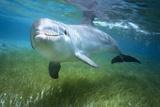 Bottlenosed Dolphin Fotografisk tryk af Craig Tuttle