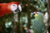 Scarlet Macaw and Red-Lored Amazon Parrot Stampa fotografica di Craig Tuttle