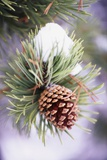 First Snow Clinging to Pine Cone Photographic Print by Craig Tuttle