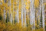 Colorful Aspen Trees. Thorpe Mountain, Colorado Reproduction photographique par Ron Dahlquist
