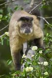 Black-Tufted Capuchin Stampa fotografica di Gulin, Darrell