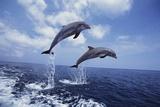 Bottlenose Dolphins Jumping Premium fotografisk trykk av Craig Tuttle
