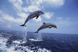 Bottlenose Dolphins Jumping Photographic Print by Craig Tuttle