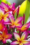 Colorful Plumeria (Frangipani) Blossoms, Maui, Hawaii Fotografie-Druck von Ron Dahlquist