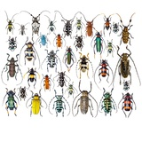 Long Horned Beetles in Design Layout and Size Relationship Photographic Print by Darrell Gulin