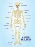 Human Skeleton Anatomy Anatomical Chart Poster Print Poster