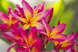 Colorful Plumeria (Frangipani) Blossoms, Maui, Hawaii Reproduction photographique par Ron Dahlquist