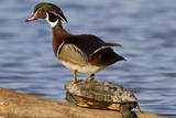 Wood Duck Standing on Red-Eared Slide on Log in Wetland, Marion Co. IL Reproduction photographique par Richard and Susan Day