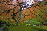 Japanese Maple in Fall Fotografisk trykk av Craig Tuttle