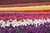 Tulip Fields, Wooden Shoe Tulip Farm, Woodburn Oregon, United States Fotografisk trykk av Craig Tuttle