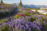 Summer Flowers and Tatoosh Mountains, Paradise, Mount Rainier National Park, Washington State Fotografisk trykk av Craig Tuttle