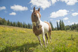 Horse in an Alpine Meadow, Slate Pass, Pasayten Wilderness, Washington Stampa fotografica di Steve Kazlowski