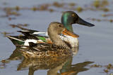 Northern Shovelers Male and Female in Wetland, Marion Co. IL Reproduction photographique par Richard and Susan Day