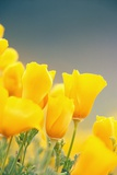 Yellow Poppy Flowers Photographic Print by Craig Tuttle