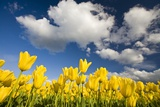 Tulips under Clear Sky Photographic Print by Craig Tuttle
