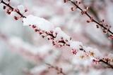 Snow on Cherry Tree Branch Fotografisk trykk av Craig Tuttle