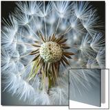 Dandelion Seed Kunstdruck von Margaret Morgan