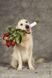 Golden Retriever Holding Bouquet of Roses Reproduction photographique par Ron Dahlquist