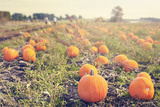 Pumpkin Patch Juliste tekijänä Roberta Murray