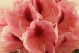 Delicate Petals II Pôsters por Rita Crane
