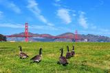 Golden Gate Bridge with Gooses Fotografie-Druck von  prochasson