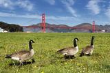 Gooses and Golden Gate Bridge Fotografie-Druck von  prochasson