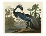 Louisiana Heron Plakater af John James Audubon
